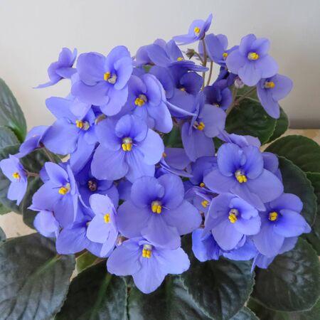 Plante d'intérieur violette africaine