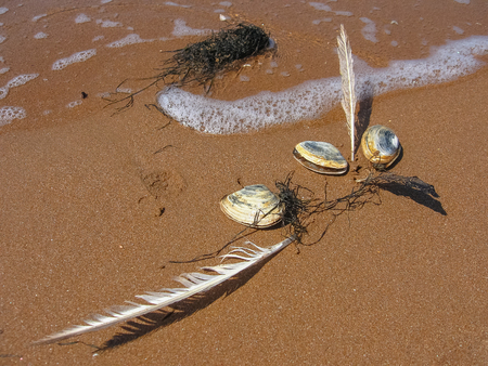 Three shellfish-mollusks, two  feathers and algae on the sea sand Stock Photo