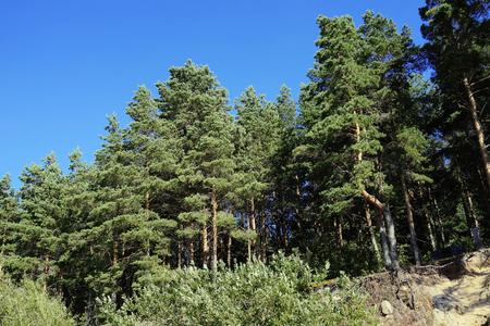 Pines on the coastline of the Rybinsk reservoir. Sunny summer landscape. Yaroslavl region, Russia 写真素材