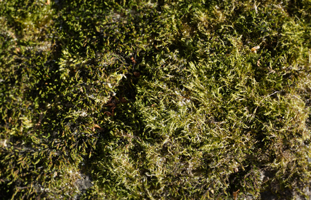 Green seaweed on the stone. Textured surface. Natural background. Close-up view