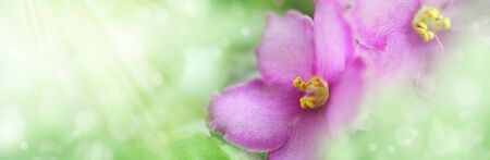 Floral summer banner. Two purple violets against light green background with copy space. Flower corollas close up in gentle sunlight. Landscape panorama. Dreamy, romantic, airy, elegant image 写真素材