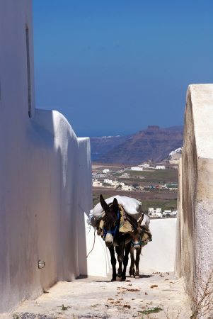 Donkey in Santorini, Greece photo