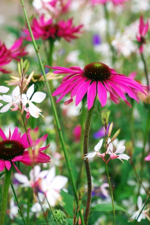 Echinacea  coneflower  photo