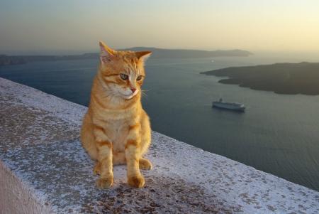 firostefani: Cat in Firostefani, Santorini, Greece