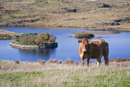 dwelling: Inquisitive brown cow in rural Ireland with a sixth century crannog, (man-made island dwelling), in a lake in the background.