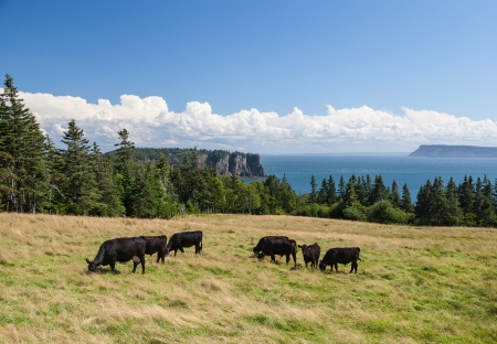 Cattle grazing in rural pasture overlooking the Bay of Fundy with Cape Blomidon in the distance  photo