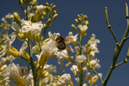 pollen: Bee collecting pollen Stock Photo