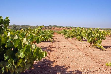 Tilling vineyards, Extremadura (Spain)