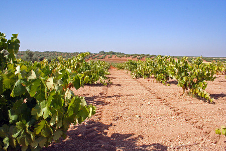 hectare: Tilling vineyards, Extremadura (Spain)