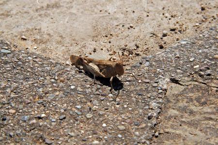 voracious: Field grasshopper (Chorthippus brunneus)