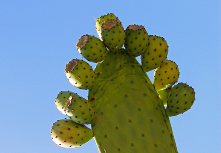 prickly: Figs prickly pear (Opuntia ficus-indica) Stock Photo