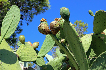 Figs prickly pear (Opuntia ficus-indica) Stock Photo