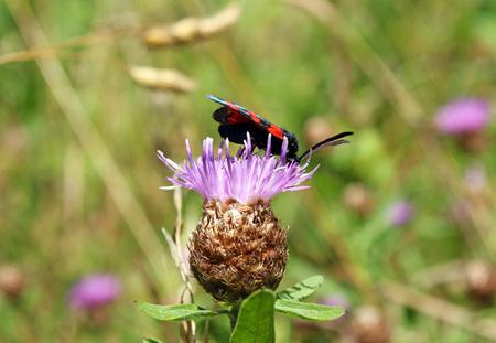 striped bug (Graphosoma italicum lineatum) Stock Photo
