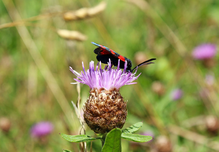 graphosoma: striped bug (Graphosoma italicum lineatum) Stock Photo