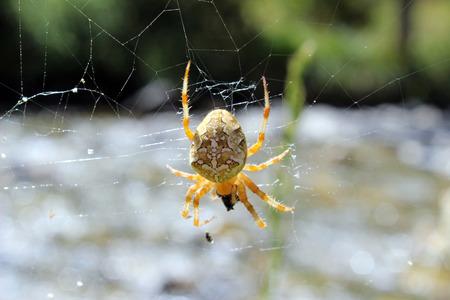 Spider (Steatoda triangulosa) capturing prey