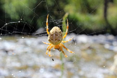 capturing: Spider (Steatoda triangulosa) capturing prey
