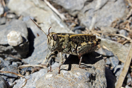 chorthippus: Field grasshopper (Chorthippus brunneus)