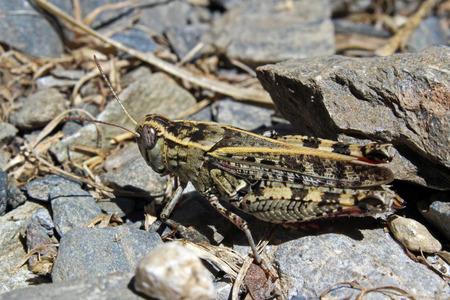 Field grasshopper (Chorthippus brunneus)