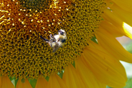 helianthus: Sunflower (Helianthus annuus) in summer Stock Photo