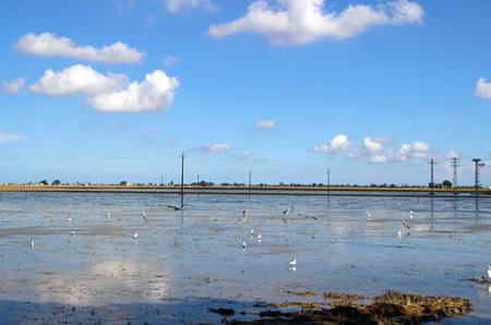 arando: De cultivos de plantación de arroz en el Delta del Ebro, Cataluña (España)