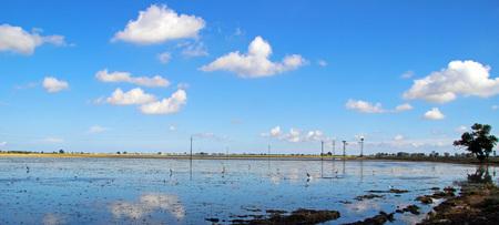 ebro: Crop of plantation of rice in the Delta of the Ebro, Catalonia (Spain)