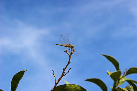 Dragon-Fly (Anisoptera) on a branch of orange
