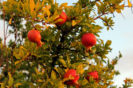 Pomegranate (Punica granatum) in autumn Stock Photo