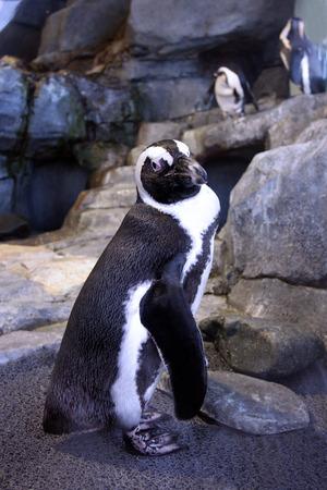 Penguin Stare. Penguin in pen. Reklamní fotografie