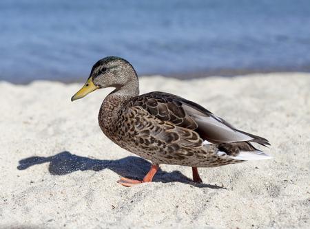 An image of a duck walking along the shore at Lake Tahoe, California. Stock Photo
