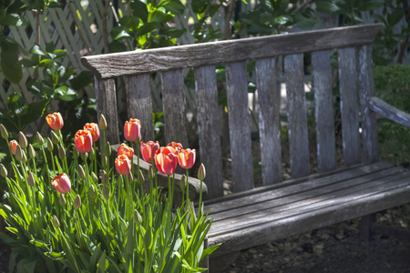 This bench is located in a formal botanical garden. The garden featured freshly blooming tulips which can be found throughout the park. 版權商用圖片