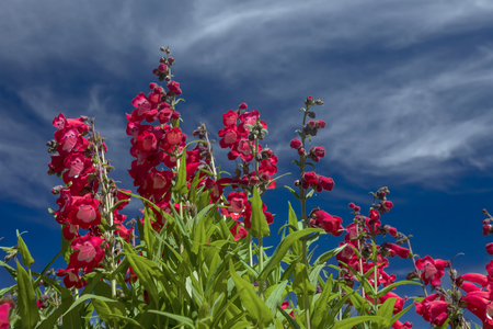 This photo was taken at a formal botanical garden near San Francisco, California. Spring had arrived, and flowers are in bloom. This image features a beautiful red flowers and with a deep blue sky with wispy clouds.