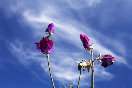 This photo was taken at a formal botanical garden near San Francisco, California. Spring had arrived, and flowers are in bloom. This image features a beautiful purple Sweet Pea blossoms and with a deep blue sky with wispy clouds.