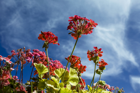 This photo was taken at a formal botanical garden near San Francisco, California. Spring had arrived, and flowers are in bloom. This image features a beautiful red flower blossoms and with a deep blue sky with wispy clouds.