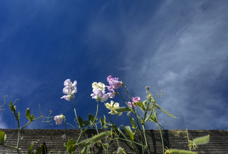 This photo was taken at a formal botanical garden near San Francisco, California. Spring had arrived, and flowers are in bloom. This image features a beautiful Sweet Pea Blossoms flowers and with a deep blue sky with wispy clouds. Stock Photo