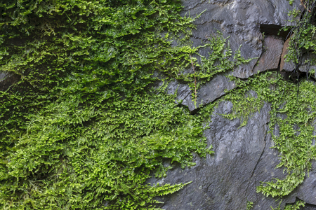 An image of moss growing on a rock near a local waterfall in the Santa Cruz mountain in California.