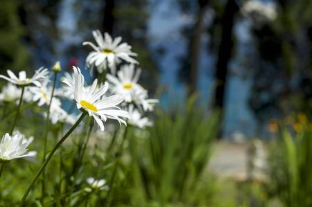 Flower Garden, SAN FRANCISCO, CA – July 20, 2013: An image of flowers in a garden located in San next to Lake Tahoe, California.