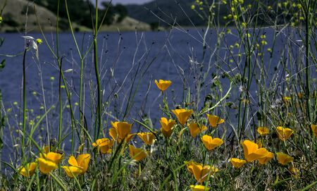 Flower Garden, SAN FRANCISCO, CA – June 17, 2017: An image of poppies next to Uvas Canyon lake located in Morgan Hill, California.