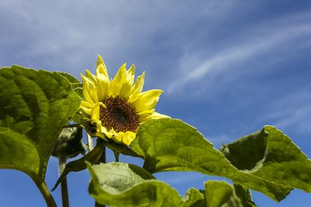 Flower Garden, SAN FRANCISCO, CA � June 17, 2017: An image of sunflower plant in a botanical garden located in San Francisco�s Golden Gate park.