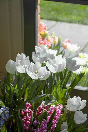 Flower Garden, SAN FRANCISCO, CA – March 25, 2018: An image of tulips near a window in a botanical garden located in a San Francisco park.