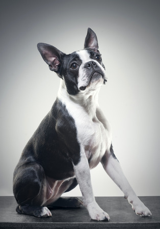 Two year old Boston terrier photo
