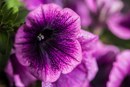 close up: Purple Petunia Close Up