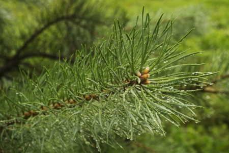 branch of pine tree for background