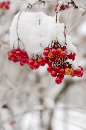 guelder: guelder rose branches in snow