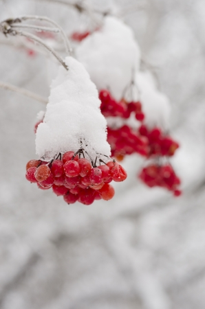 guelder rose: guelder rose branches in snow
