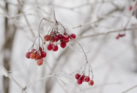 guelderrose: guelder-rose branch in snow