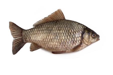 pez carpa: Cruce�o carpa aislada sobre fondo blanco