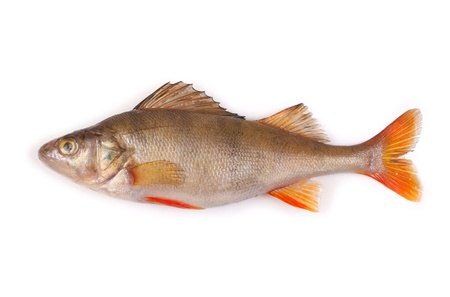 perch isolated on white background Stock Photo - 9314633
