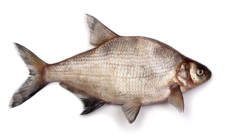 bream on a white background