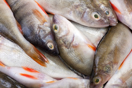 lots of fresh perch Stock Photo - 11696287