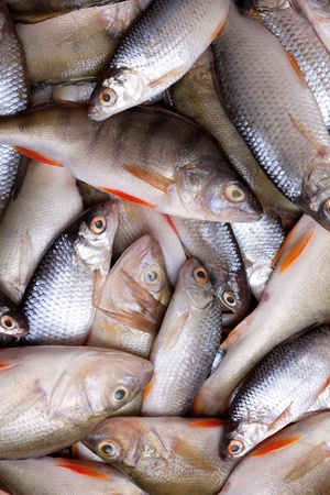 lots of fresh perch and roach Stock Photo - 11696290
